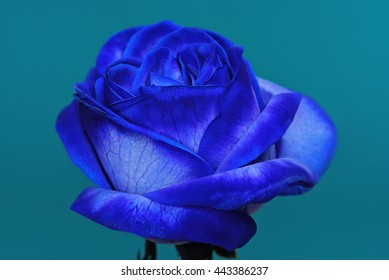Blossom Of A Blue Rose Against An Azure Background 2.