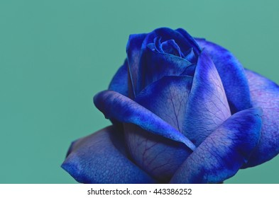 Blossom Of A Blue Rose Against An Azure Background 11.
