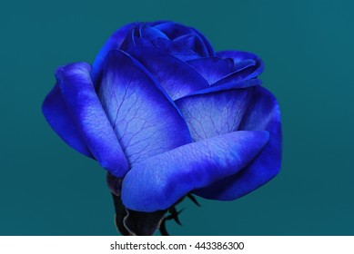 Blossom Of A Blue Rose Against An Azure Background 1.