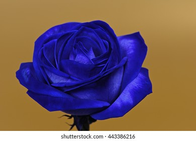 Blossom Of A Blue Rose Against A Golden Background. Picture With Soft Edges 2.
