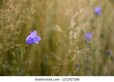 Blossom bluebell closeup by a natural blurred background