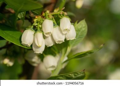 Blossom of Blueberry (Vaccinium myrtillus)