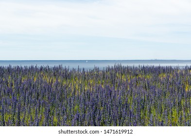 Blossom blueweed by the coast of the Baltic Sea. View from the s