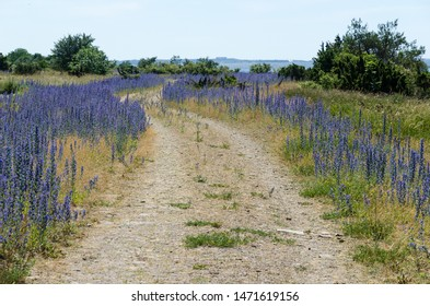 Blossom blueweed by roadside at an old gravel road at the island Oland in Sweden