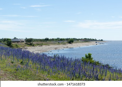 Blossom Blueweed flowers by a bay of the Baltic Sea at the swedish island Oland