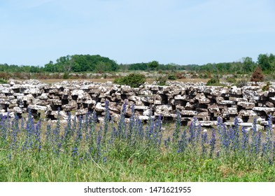 Blossom blueweed flowers by a dry stone wall at the swedish island Oland