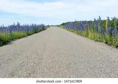 Blossom blueweed flowers by roadside in a low perspective image at the island Oland in Sweden