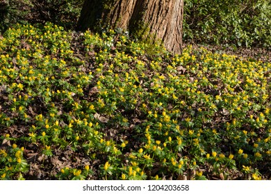 Blossom buttercup anemone, (Anemone ranunculoides)