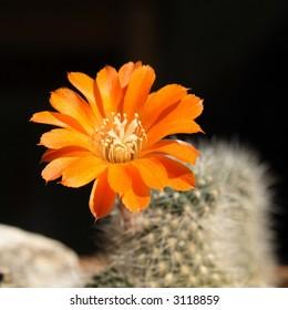 Blossom of a cactus