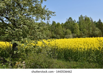 Blossom canola field in a green and yellow landscape by spring season