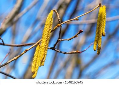 Blossom catkins of hazel closeup