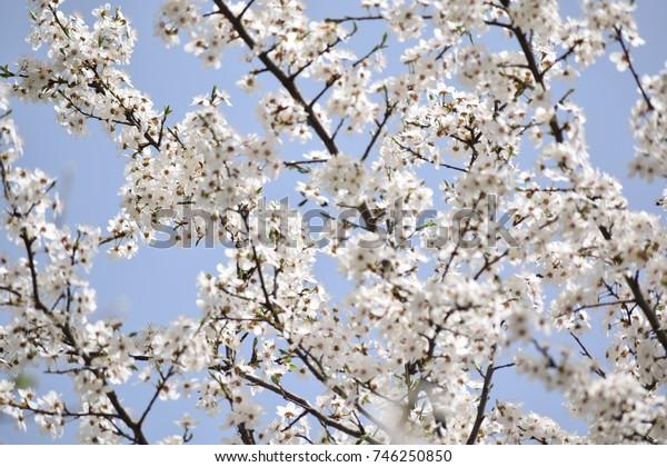 Blossom cherry & blue sky.