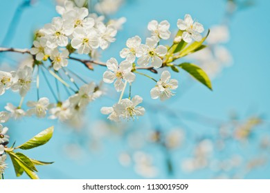 Blossom cherry branch