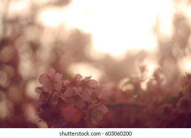 blossom cherry flowers closeup. sakura closeup
