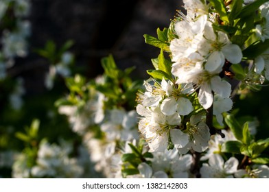 Blossom cherry tree flowers close-up photography