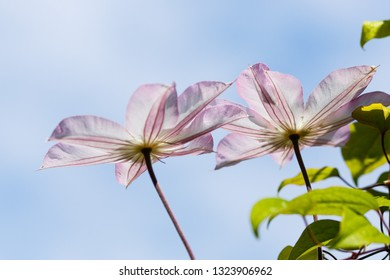 Blossom clematis in garden. White and pink clematis. Clematis flowers blooming on clematis vine