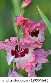 Blossom of colorful gladioluses, who bloom on the flowerbed