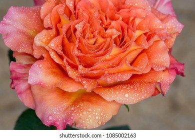 Blossom colorful orange rose with water drops on petals.