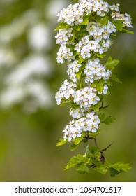 Blossom of common hawthorn or single-seeded hawthorn (Crataegus monogyna). This species of hawthorn is native to Europe, northwest Africa and western Asia.