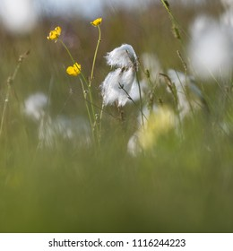 Blossom cotton grass and butter cups in a marshland by  summer season at the swedish island Oland