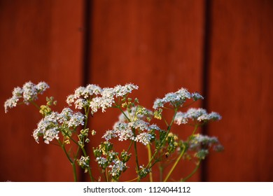Blossom cow parsley closeup by a red wall
