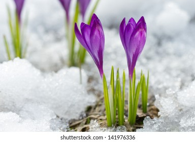 Blossom crocuses on the snow