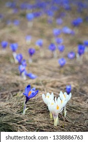 Blossom of crocuses at spring in the Alps mountains