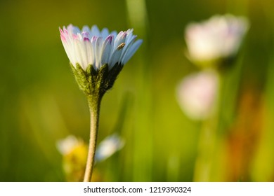 Blossom of a daisy in the green grass with beautiful bokeh background