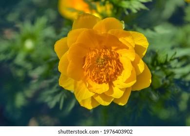 Blossom of False hellebore, Adonis vernalis medicinal herb - selective focus. Adonis spring flower on blurred green background