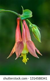 Blossom and flower bud of wild columbine (Aquilegia canadensis)