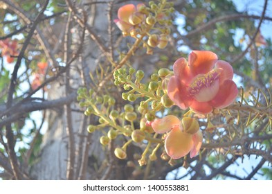 Blossom flowers of Couroupita Guianensis, commonly known as  Cannonball tree, a species of tropical tree with fragrant flowers and large fruits as well as medicinal uses for many parts