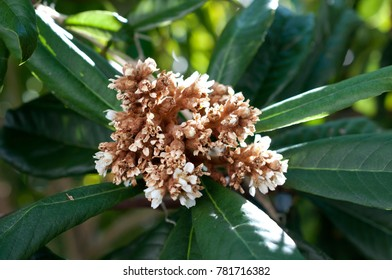 blossom flowers of a loquat tree.