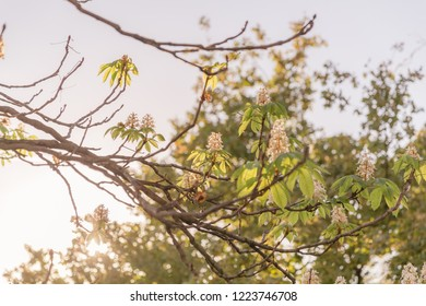 Blossom flowers of a loquat tree with beautiful warm sunset light