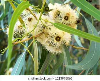Blossom flowers of River Red Gum, Eucalyptus camaldulensis