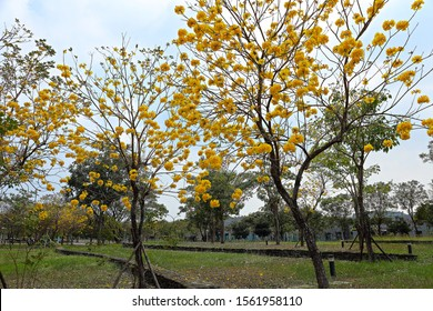 blossom of Golden Trumpet-tree Tabebuia chrysantha