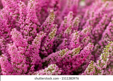 Blossom heather erica elegant, pink fuchsia small flowers on long branches, background wallpaper horizontal. Fresh natural blooming heather erica, selective focus