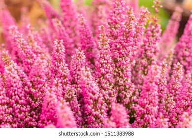 Blossom heather erica elegant, pink autumn flowers, background wallpaper horizontal. Fresh natural blooming heather erica, selective focus, garden decor