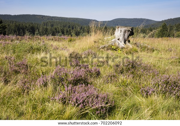 Blossom Heathland, Niedersfelder Hochheide, Nature reserve, Neuer Hagen, Upland, Sauerland, Hesse, Germany, Europe