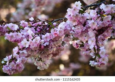 Blossom in Stadsträdgården, Karlstad. Pink beautiful blossoms which smells lovely.