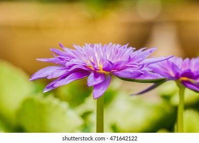 blossom lotus flower focus on flower