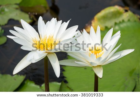 Blossom Lotus Flower Peace Stock Photo Edit Now 381019333