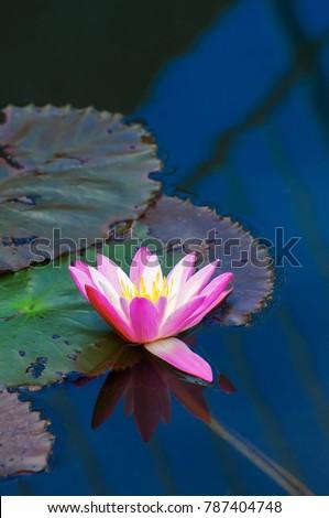 Blossom Lotus Flower Symbol Purity Buddhism Stock Photo Edit Now