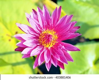 blossom lotus flower;focus flower