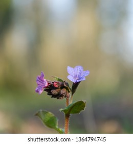 Blossom Lungwort flower with a blurred background
