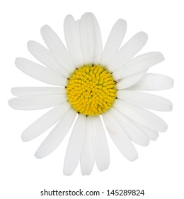 Blossom of Marguerite flower isolated on a white background