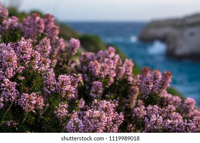Blossom Mediterranean pink heather (Erica) coastline. Malta flora. Island of Gozo, winter. Close up, shallow depth of field.