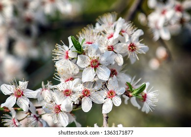Blossom of Mirabelle plum, also known as mirabelle prune or cherry plum (Prunus domestica).