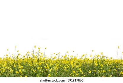 blossom mustard on white background with daylight