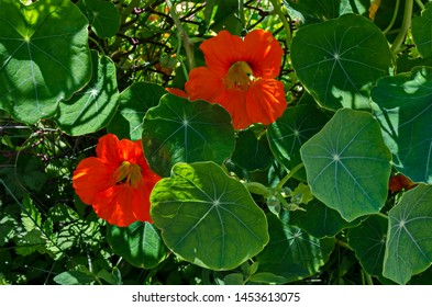 Blossom of  Nasturtium, Indian cress or tropaeolum majus in the summer garden, Jeleznitsa, Vitosha mountain, Bulgaria
