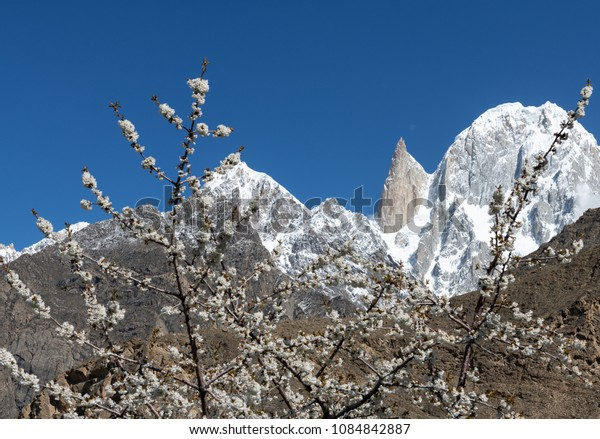 Blossom  in  the northern Pakistan  with  the  Lady  finger background